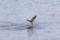 Eastern osprey Pandion cristatus catching fish
