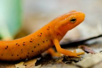 Eastern Red-spotted Newt