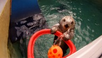Eddie a -year-old sea otter at the Oregon Zoo