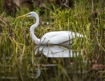Egret Reflecting - Serenity in bird form