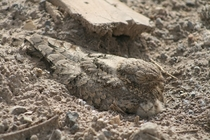 Egyptian nightjar Caprimulgus aegyptius rests on the sand