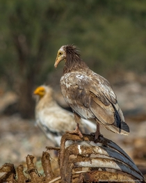 Egyptian Vulture Neophron percnopterus is usually seen singly or in pairs soaring in thermals along with other scavengers and birds of prey or perched on the ground or atop a building - Bikaner Rajasthan India