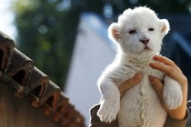 Eight-day-old white lion cub