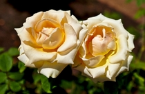 Elegant Beauty - A hybrid Tea Rose