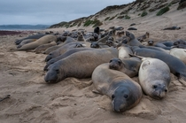 Elephant Seals at Ano Nuevo State Park California