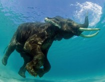 Elephant under water xpost relephants