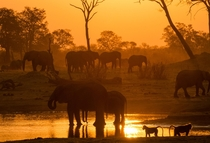 Elephants and baboons at dusk in a pond Hwange Zimbabwe