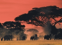 Elephants at the end of the day on the plains of Africa