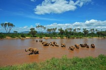 Elephants cross the Ewaso Nyiro river in the Samburu National Reserve Kenya
