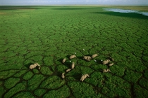 Elephants grazing in Lake Amboseli Amboseli National Park Kenya Photographed by George Steinmetz