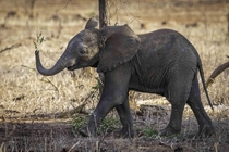 Elephants learn and express emotions like human children - this little guy in Kruger NP was supremely happy with a juicy branch and showed it off to a herd member before running off and eating it down