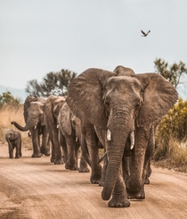 Elephants on the road South Africa