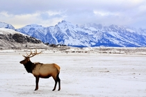 elk and Grand Tetons in winter