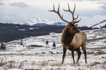 Elk at YellowStone x