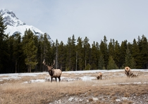 Elk grazing in the early spring Banff Canada
