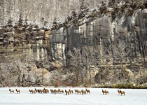 Elk herd at Steel Creek Buffalo National River Arkansas by Joe Busby