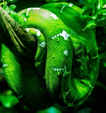 Emerald Tree Boa at National Aquarium