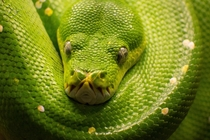 Emerald Tree Boa shot in Berlin Zoo