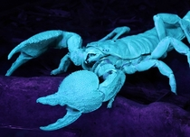 Emperor scorpion Pandinus imperator under black light