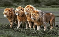 Emperors of the savannah Four male lions form a strong pride in Amboseli National park Kenya