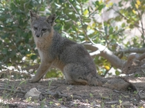 Endangered Catalina Fox - smaller than an average housecat