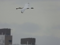 Endangered spoonbill soar in the sky of the concrete jungle Hong Kong