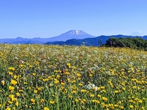 Endless wildflowers looking on to Mount Saint Helens and Mount Rainier