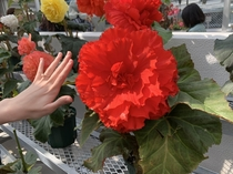 Enormous flower in Jindai botanical garden Japan Newly proposed fiances hand for scale