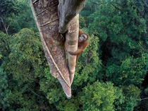 Entwined Lives by Tim Laman orangutan in fig tree  Wildlife Photography of the Year winner