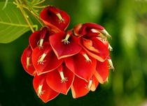 Erythina crista-galli Coral Tree