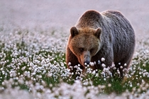 Eurasian Brown Bear walking in cotton