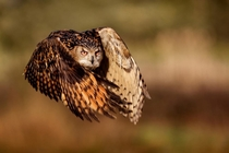 Eurasian Eagle Owl Bubo bubo in flight Mark Bridger