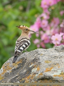 Eurasian Hoopoe from Pakistan
