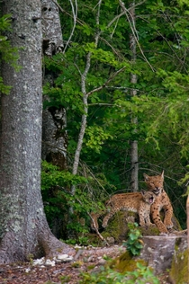 Eurasian lynx and kitten Laurent Geslin