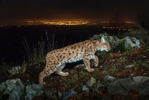 Eurasian lynx Lynx lynx in the Jura Mountains Switzerland Photo by Laurent Geslin  x-post rlynxes