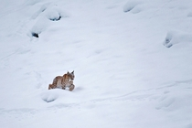 Eurasian lynx treks through thick snow at the edge of a forest in the Canton of Fribourg in the Swiss Alps Laurent Geslin