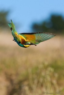 European Bee Eater returning home with his spoils