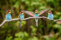 European bee-eaters  by Pter Hegeds