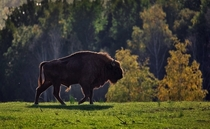 European bison Bison bonasus also known as the wisent in Latvia
