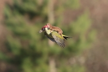 European green woodpecker Picus viridis attacked by a weasel Mustela nivalis Photograph by Martin Le-May