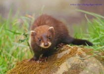 European polecat kit mustela putorius -