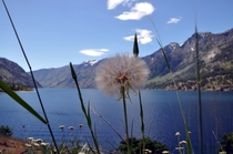 Even dandelions can be beautiful Lake Chelan WA