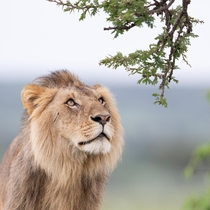 Even the one of the mighty male lions of Kenya has a softer side