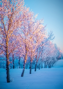 Evening light grazing the top half of snow-covered trees Lethbridge Alberta Canada