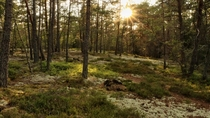 Evening sun in a Swedish forest