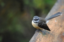 Excuse me may I take your photo No thank you have a good day This will take just a moment I said good day sir New Zealand Fantail Rhipidura fuliginosa
