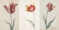 Exquisite th Century Dutch Tulip Illustrations at the Norton Simon Museum - See my comment for the story