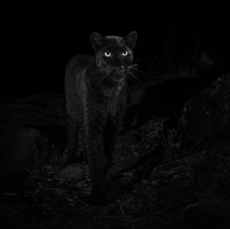 Extremely rare African black leopard recently spotted in Kenya