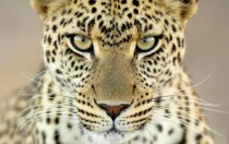 Eyes of a Leopard Panthera pardus  x