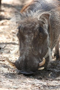 Face of a Warthog - Phacochoerus africanus
